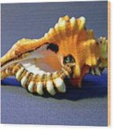 Seashell Cymatium Lotoium Wood Print