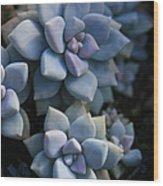 Sedum Clavatum Beautiful Cultivated Stonecrop Wood Print