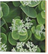 Sedum Pre-bloom Wood Print