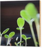 Seeding Shoots Coming Up From The Ground Wood Print