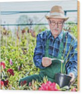Senior Gardener Selecting A Tree. Wood Print