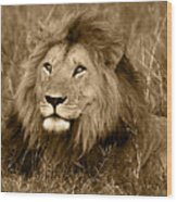 Sepia Lion Wood Print by Nancy D Hall