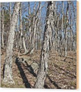 Shagbark Hickory Forest  Wood Print