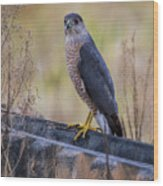 Shakerag Coopers Hawk Wood Print