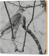 Sharp-shinned Hawk Black And White Wood Print