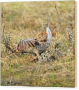Sharp Tailed Grouse Strutting Wood Print