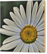 Shasta Daisy Wood Print