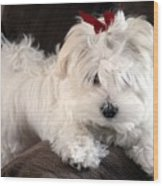 Shayla The Maltese Pup Wood Print