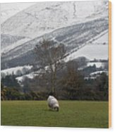 Sheep Grazing Atthe Galtees  Ireland's Tallest Inland Mountains Wood Print