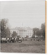 Sheep Grazing On The White House Lawn Wood Print by Everett