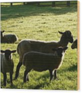 Sheep In The Sunlight Wood Print