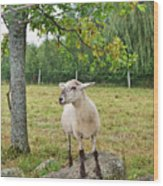 Happy Sheep Posing For Her Photo Wood Print
