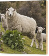 Sheep With Twin Lambs Stony Bay Wood Print by Colin Monteath