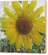 Shine Sunflower Shine Wood Print