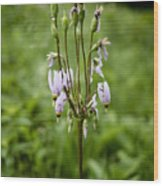 Shooting Star Flower - Wisconsin Wood Print