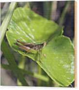Short Winged Green Grasshopper Wood Print