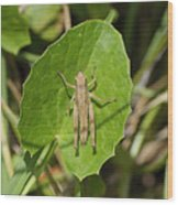 Shortwinged Green Grasshopper Wood Print