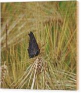 Showing The Dark Side. European Peacock On Barley Wood Print