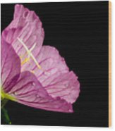 Showy Evening Primrose Wood Print
