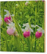 Showy Lady's Slipper Orchids Wood Print