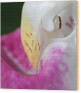 Showy Ladyslipper Up Close And Personal Wood Print