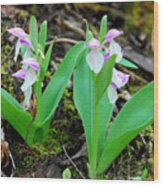 Showy Orchis Wood Print