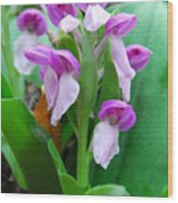 Showy Orchis Close Up Wood Print