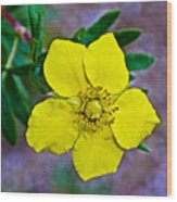 Shrubby Cinquefoil On Iron Creek Trail In Sawtooth National Wilderness Area-idaho  Wood Print