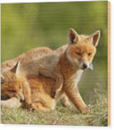 Sibbling Love - Playing Fox Cubs Wood Print