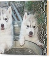 Siberian Husky Puppies Wood Print