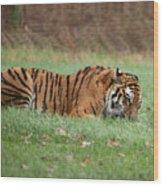 Siberian Tiger Checking Scent Wood Print