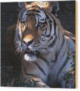 Siberian Tiger Executive Portrait Wood Print