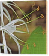 Side View Of Cahaba Lily In Huntington Botanical Gardens In San Marino-california  Wood Print