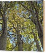 Sierra Nevada Aspen Fall Color Wood Print