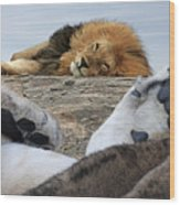 Siesta Time For Lions In Africa Wood Print