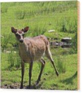 Sika Deer Water Hole Omagh Wood Print