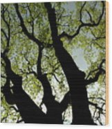Silhouette Of A Tree Trunk With New Growth In Springtime Wood Print