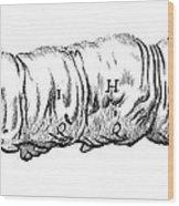 Silkworm, Malpighi, 1686 Wood Print