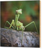 Silly Mantis Wood Print by Karen M Scovill
