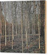 Silver Birch Winter Garden Wood Print