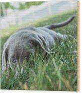 Silver Labrador Retriever  Wood Print