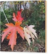 Silver Maple In Red Wood Print