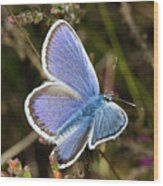 Silver-studded Blue Butterfly Wood Print