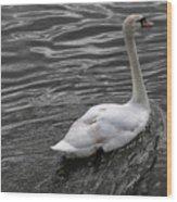 Silver Swan Wood Print