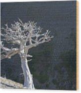Silver Tree Glacier Park Montana Wood Print