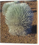 Silversword Wildflower Wood Print