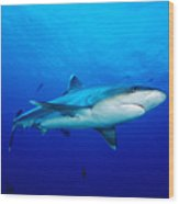 Silvertip Shark In Thailand Wood Print