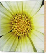 Simply Daisy Wood Print by JoAnn SkyWatcher