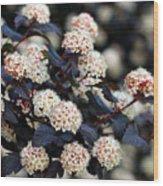 Summer Wine Ninebark Blossom Wood Print