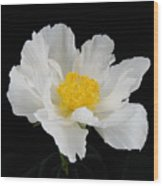 Singel White Peony Magnificence Wood Print